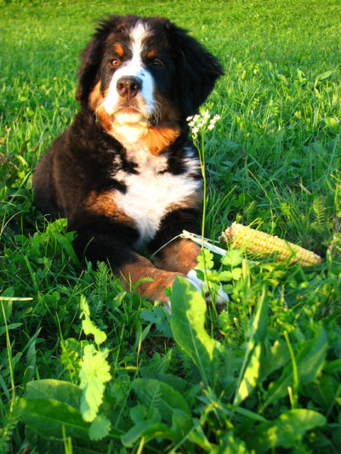 Cepljenje psov proti steklini na terenu poteka od 10. marca do 13. marca 2014.